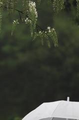 雨と遅咲き藤