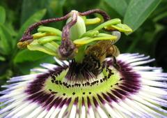 トケイソウとミツバチ