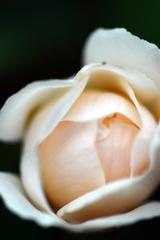 薔薇のツボミ