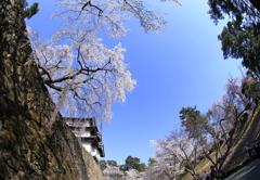 弘前桜祭り3