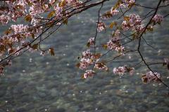 十和田湖と桜