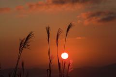 朝陽とススキ