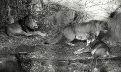 天王寺動物園・ライオン