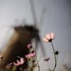 今年の秋桜