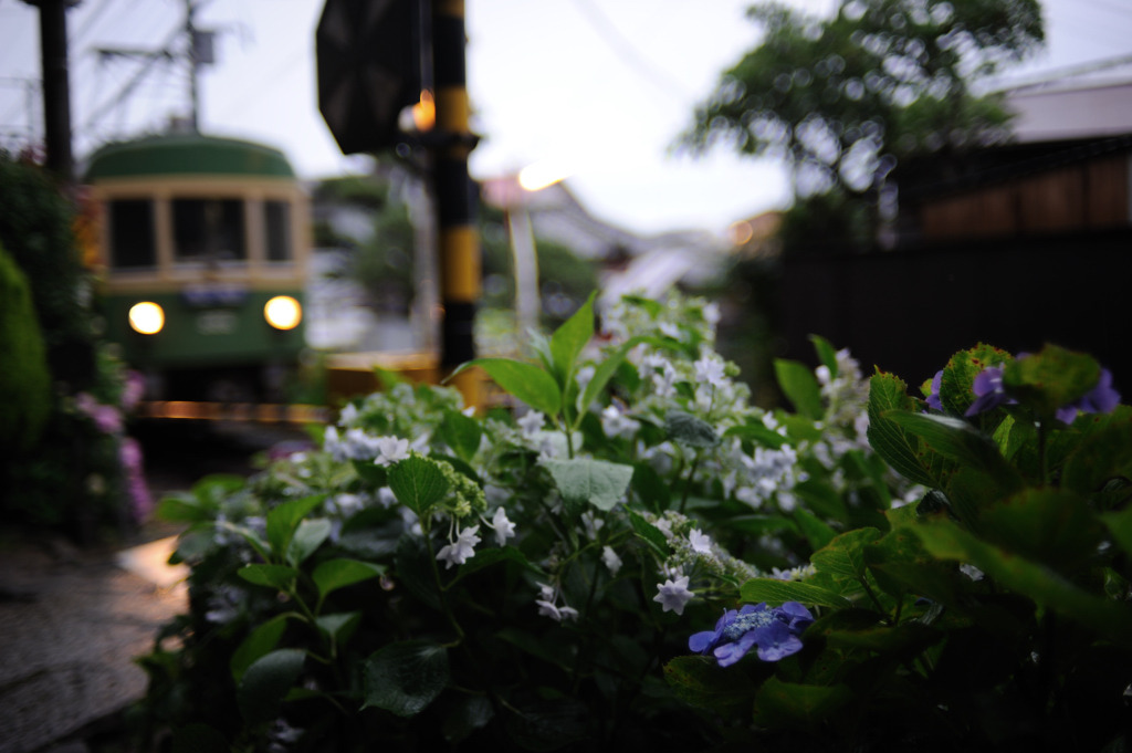 雨に紫陽花