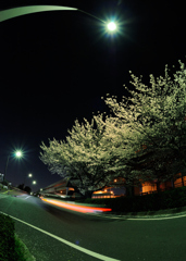 Cherry tree of night