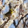 梅を愛でるメジロ03
