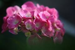 庭に咲いた紫陽花
