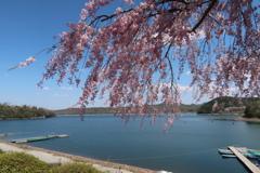 入鹿池 枝垂れ桜
