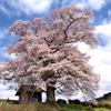 七草木の天神桜