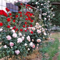 梨園のバラ 2018⑩