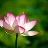 Lotus 2020 VII