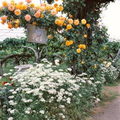 梨園のバラ 2018⑦