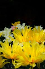 黄色の麗人