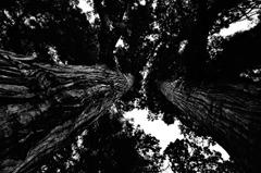 山中温泉 樹齢2300年栢野大杉