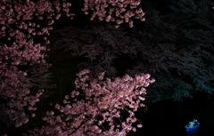満開の桜の樹の下で