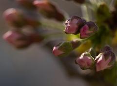 桜 ~ 息吹き
