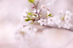 桜ポートレート2