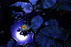 月光蝶華。