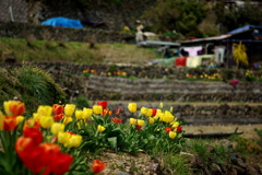 春の棚田風景。