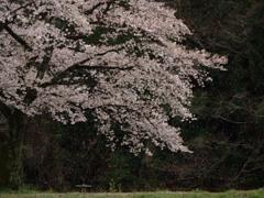 記憶に残る桜 再び