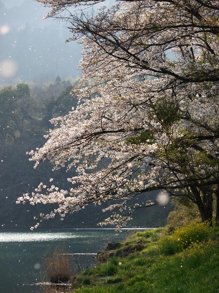記憶に残る桜 2