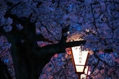 夜桜色 弐