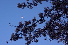 お月さんも花見