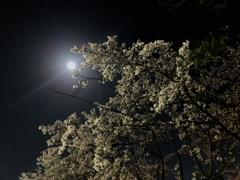 スマホで夜桜