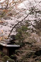 等樹庵と桜