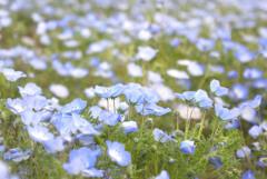 スカイブルーの花畑