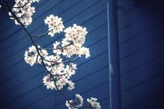 Sakura&Blue-wall