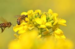 菜の花と蜜蜂 3