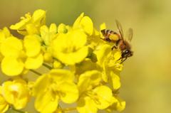 菜の花と蜜蜂 1