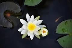 蓮の花咲くころ  4