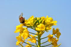 菜の花と蜜蜂 2