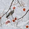 残り柿とヒヨドリ