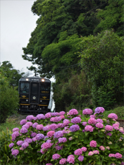 紫陽花とTRAIN