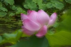蓮の花咲く頃 7