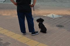 散歩するアフロ犬
