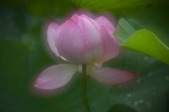 蓮の花咲く頃 8