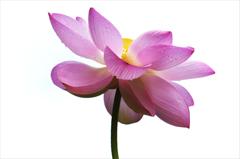 蓮の花咲く頃 5