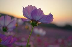 夕日と秋桜