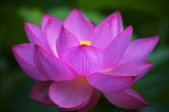 蓮の花咲く頃 1