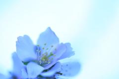 冬に咲いた桜