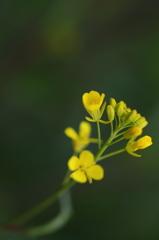 菜の花 Ⅱ