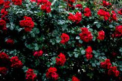薔薇の生け垣