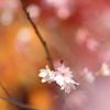 錦秋桜絵巻