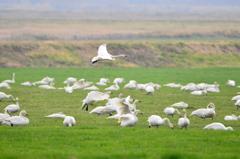 緑地にたたずむ白鳥