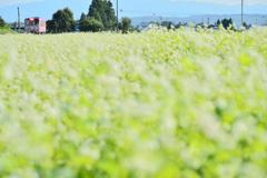 蕎麦の花の咲く頃